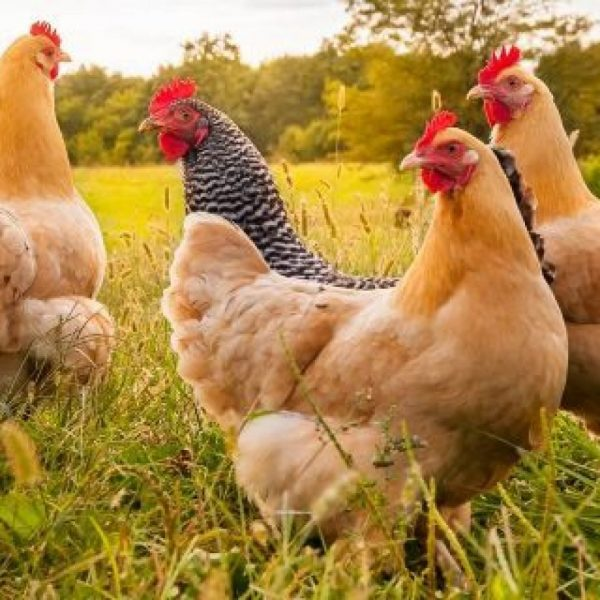 Chicken Feeders Automatic Is Significant For Poultry